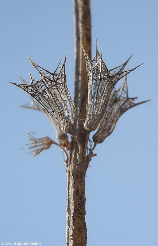 Image of <i>Stachys libanotica</i> Benth.