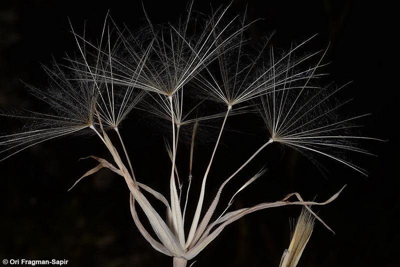 Image of <i>Tragopogon buphthalmoides</i> (DC.) Boiss.