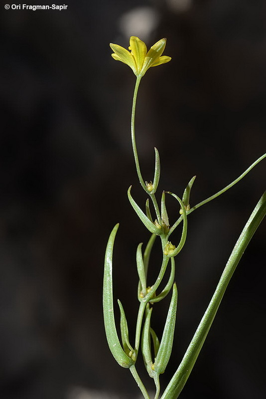 Image of <i>Gagea gageoides</i> (Zucc.) Vved.