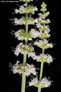 Image of <i>Mentha longifolia</i> var. <i>schimperi</i> (Briq.) Briq.