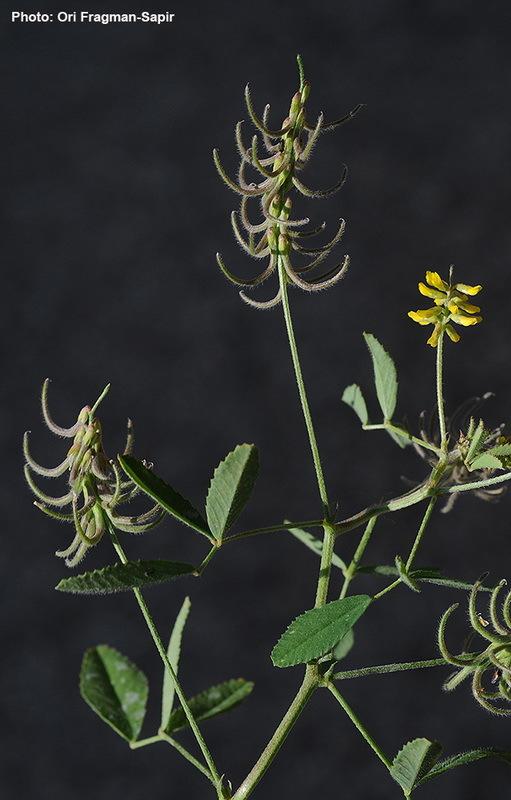 Image of <i>Trigonella filipes</i> Boiss.