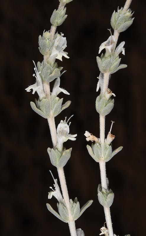 Image of <i>Satureja nabateorum</i> Danin & Hedge