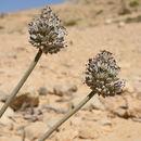 Image of <i>Allium artemisietorum</i> Eig & Feinbrun