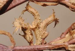 Image of <i>Valerianella tuberculata</i> Boiss.