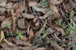 Image of Lebanon Oak