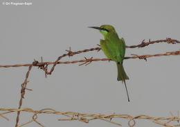 Image of Green Bee-eater