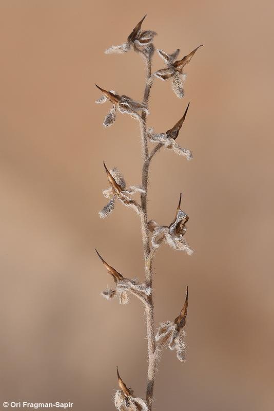 Image of <i>Paracaryum rugulosum</i> (DC.) Boiss.