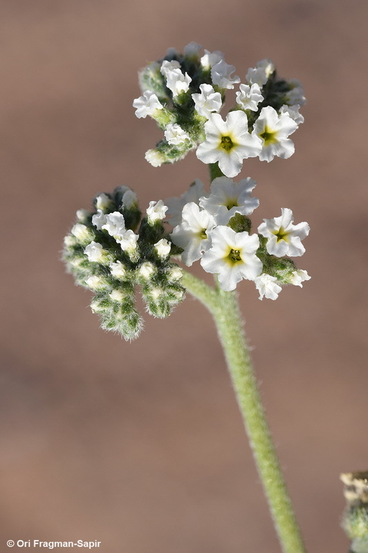 Image of <i>Heliotropium bacciferum</i> Forsk.