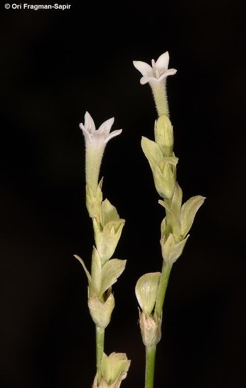 Image of <i>Pterogaillonia calycoptera</i> Lincz.