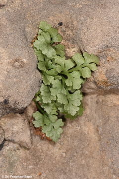 Image of Wall-rue
