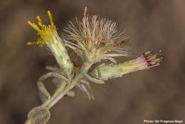 Image of <i>Chiliadenus iphionoides</i> (Boiss. & Blanche) Brullo