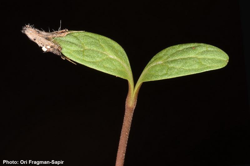 Image of <i>Cephalaria tenella</i> Paine