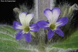 Image of <i>Ajuga orientalis</i> L.
