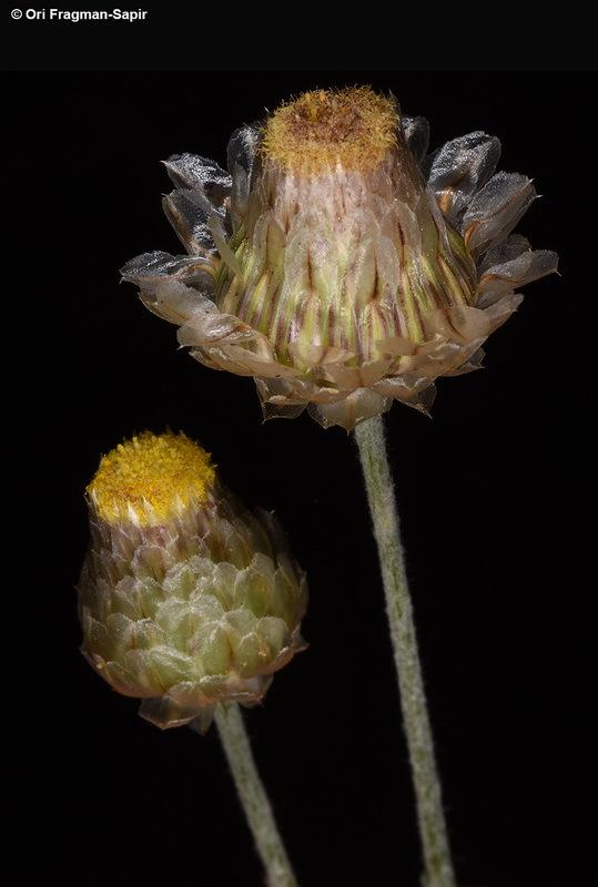 Image of <i>Phagnalon nitidum</i> Fresen.