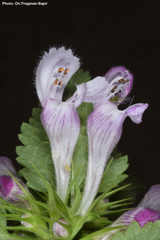 Image of spotted henbit