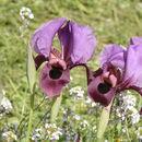 Image of <i>Iris mariae</i> Barbey