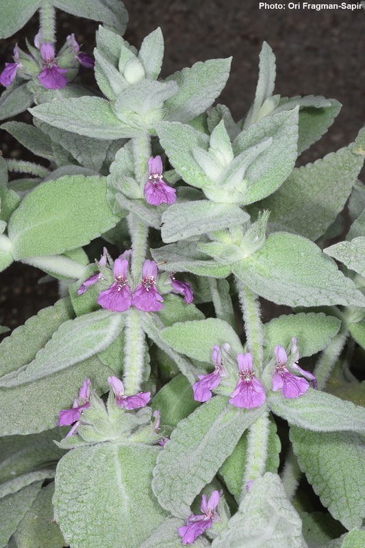 Image of <i>Stachys paneiana</i> Mouterde
