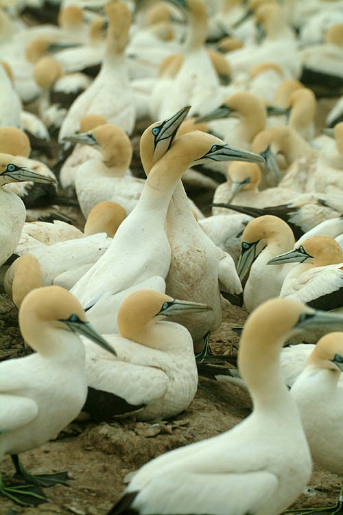 Image of Cape Gannet