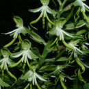 Image of Green wood orchid