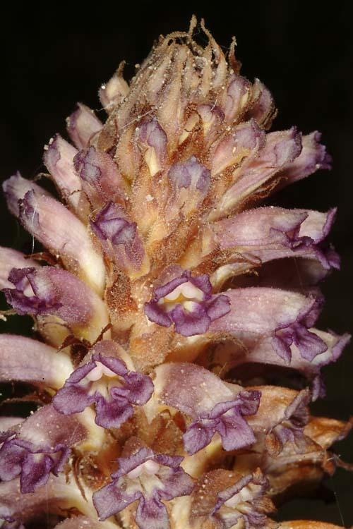 Image of nodding broomrape