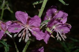 Image of rosebay willowherb