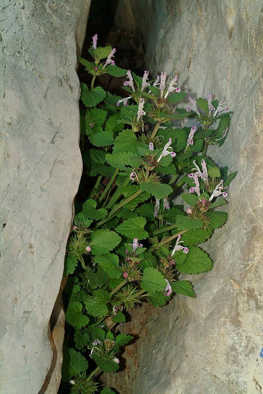 Image of <i>Lamium garganicum</i> L.