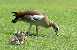 Image of Egyptian goose