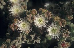 Image of common iceplant