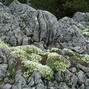 Image of <i>Astragalus angustifolius</i> Lam.