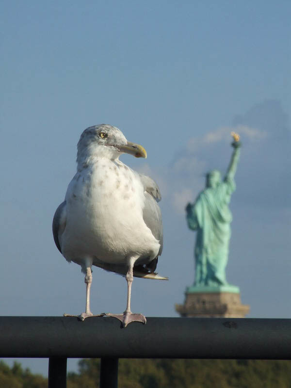 Image of American herring gull