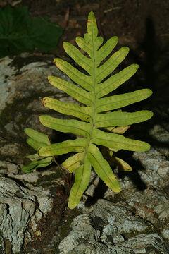 Image of <i>Polypodium australe</i>
