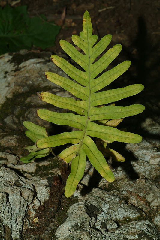 Image of <i>Polypodium australe</i>
