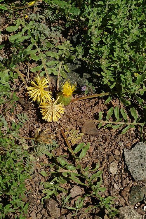 Image of <i>Centaurea rhizocalathium</i> (C. Koch) Tchihat.