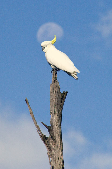 Image of Cockatoo