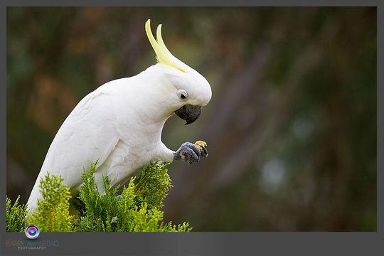 Image of Cockatoo