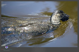 Image of Musk Duck