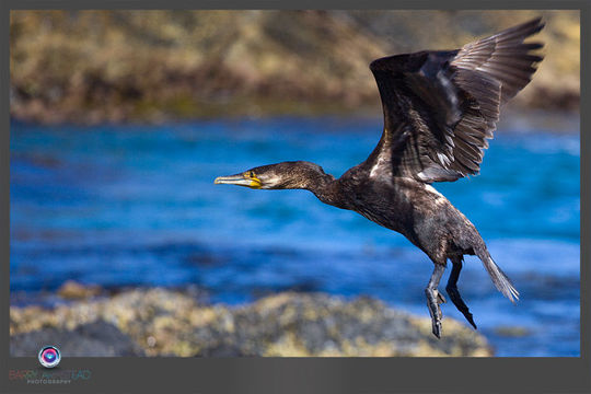 Image of Great Cormorant