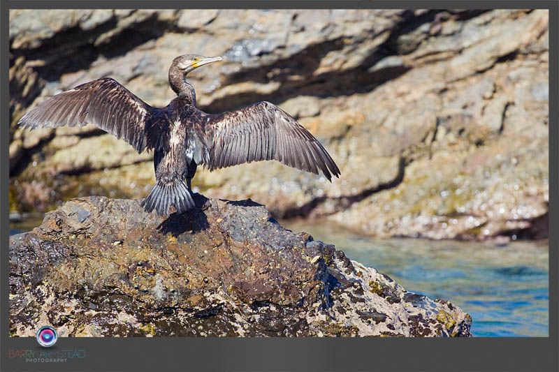 Image of Great Cormorant