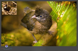 Image of Eastern whipbird