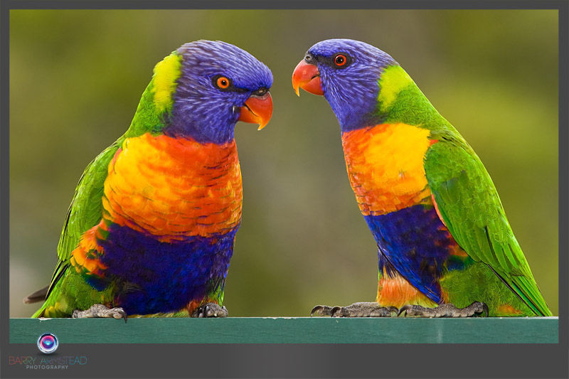 Image of Rainbow Lorikeet