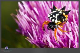 Image of Australian jewel spider