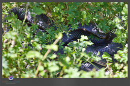 Image of red-bellied black snake