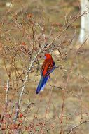 Image of Crimson Rosella