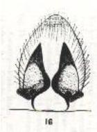 Image of <i>Hogna burti</i> (Hickman 1944)