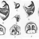 Image of <i>Lycosa australicola</i> (Strand 1913)