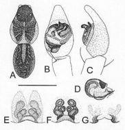 Image of <i>Artoria howquaensis</i> Framenau 2002