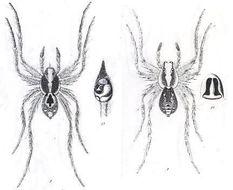Image of <i>Lycosa laeta</i> L. Koch 1877