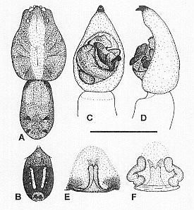 Image of <i>Venatrix brisbanae</i> (L. Koch 1878)