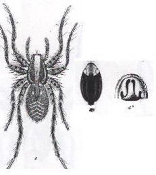 Image of <i>Venatrix brisbanae</i> (L. Koch 1878)