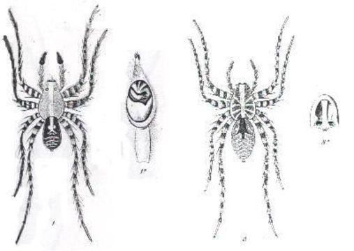 Image of <i>Hogna crispipes</i> (L. Koch 1877)